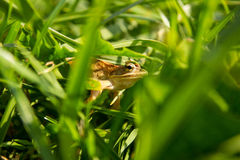 Żaba w zielonej trawie Zdjęcie Royalty Free