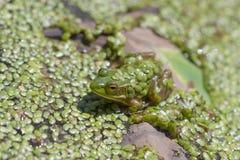 Żaba zakrywająca z duckweed Obrazy Stock