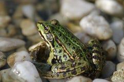 żaba zielona Stock Photos