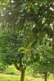 Árvore de abacates fotografia de stock