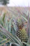Abacaxi no campo -1 Fotos de Stock Royalty Free