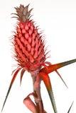 Abacaxi vermelho decorativo imagem de stock