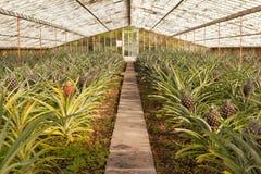 Abacaxis frescos que crescem na estufa Fotos de Stock