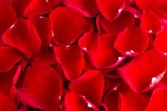 ABackground de Rose Petals rouge fraîche image stock