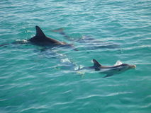 Abaco Dolphins Stock Images