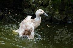 Abacot-Försterente, die im Teich spritzt Lizenzfreies Stockfoto