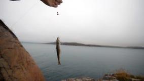 Abadejos en una barra en la pesca en mar en Escandinavia almacen de metraje de vídeo