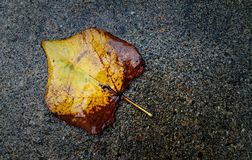 Abadoned Leaf. One single yellow fall leaf that has been weathered by rain and cold Stock Photography