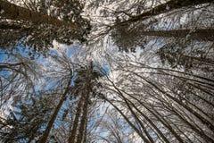 Abaissez la vue ci-dessus sur de hauts arbres forestiers nus congelés dissimulés de neige dans le paysage d'hiver en ciel bleu Images libres de droits