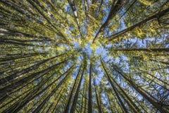 Abaixo do pinheiro Imagem de Stock Royalty Free