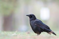 Abajo bajo con el cuervo Imagen de archivo libre de regalías