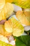 Abajo caidas hojas amarillas y verdes de un tilo Imagen de archivo