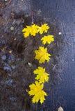 Abajo caidas las hojas de arce Fotos de archivo