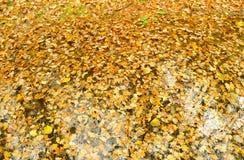 Abajo caidas las hojas de otoño Fotografía de archivo libre de regalías