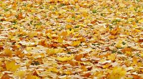 Abajo caidas las hojas del amarillo Fotografía de archivo libre de regalías