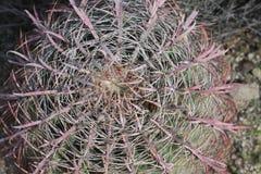 Abajo del barril del cactus de barril Fotos de archivo libres de regalías