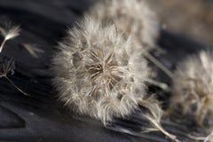 Abajo del diente de león Fotografía de archivo libre de regalías