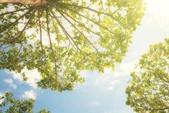 Abajo encima de la vista de los árboles que suben para arriba en el cielo azul soleado Imágenes de archivo libres de regalías