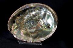 abalone Стоковые Изображения RF