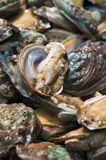Abalone in the aquatic product market Stock Photo