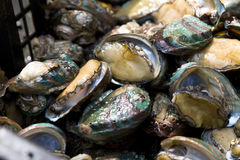 Abalone in the aquatic product market Stock Images