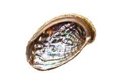Abalone - Haliotis lamellosa isolated on white background. Royalty Free Stock Image