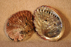 Abalone sea shells. Two empty sea shells of Perlemoen - Haliotis midae from Indian Ocean in South Africa Stock Image
