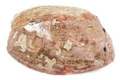 Abalone shell Stock Image