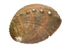 Abalone Shell Arkivbild