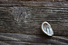 Abalone Shell Arkivfoto