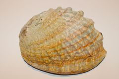 Abalone Shell stock images