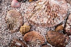Abalone Shells Stock Photos