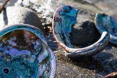 Abaloneskal på den nordliga Kalifornien kusten Arkivfoto