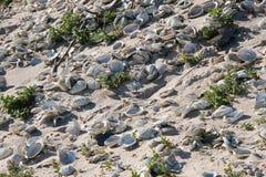 Abaloneskal på en strand Fotografering för Bildbyråer