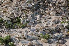 Abaloneskal på en strand Arkivfoto