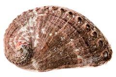 Abaloneskal på vit Royaltyfri Fotografi