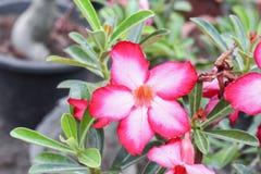 Abandone el adenium rosado hermoso de la flor de Rose Tropical en jardín Imágenes de archivo libres de regalías