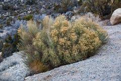Abandone el arbusto en el área nacional de la protección del barranco rojo de la roca, U Fotografía de archivo
