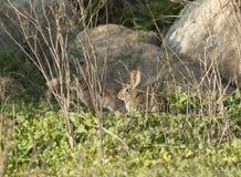 Abandone el audubonii del Sylvilagus del conejo de conejo de rabo blanco en el prado Fotografía de archivo libre de regalías
