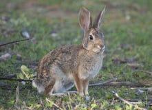 Abandone el audubonii del Sylvilagus del conejo de conejo de rabo blanco en el prado Imágenes de archivo libres de regalías
