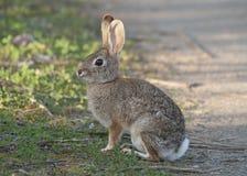 Abandone el audubonii del Sylvilagus del conejo de conejo de rabo blanco en el prado Fotografía de archivo