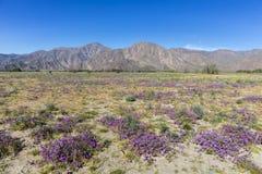 Abandone el Cinco-punto que florece en la primavera - estado del desierto de Anza-Borrego Fotografía de archivo