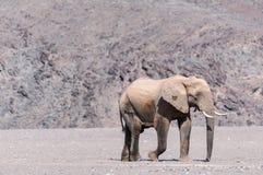 Abandone el elefante que camina en secado encima del río de Hoanib en Namibia imagenes de archivo