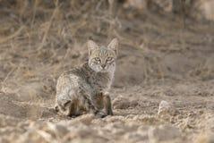 Abandone el gato que busca para la comida en el parque nacional del desierto cerca de Jaisalmer Foto de archivo