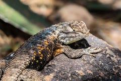 Abandone el lagarto espinoso en la roca, principal dado vuelta a la cámara Fotografía de archivo libre de regalías