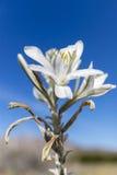 Abandone el lirio que florece en el parque de estado del desierto de Anza-Borrego, Californ Imagenes de archivo