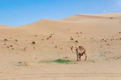 Abandone el paisaje con el becerro del camello del bebé que alimenta en camello de la madre en desierto árabe Fondo del safari de Foto de archivo libre de regalías