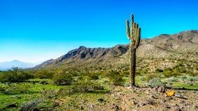 Abandone el paisaje con el cactus alto del Saguaro a lo largo de la pista de senderismo de Bajada en las montañas del parque del  Foto de archivo libre de regalías