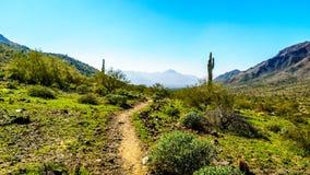 Abandone el paisaje con el Saguaro y los cactus de barril a lo largo de la pista de senderismo de Bajada en las montañas del parq Foto de archivo