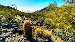 Abandone el paisaje con el Saguaro y los cactus de barril a lo largo de la pista de senderismo de Bajada en las montañas del parq Fotografía de archivo